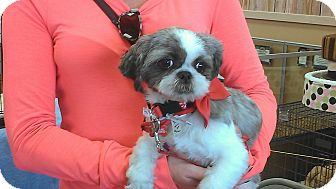 Shih Tzu Dog for adoption in Huntington Beach, California - Chinn