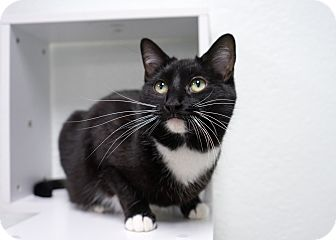 Domestic Shorthair Cat for adoption in Montclair, California - Momma Trisha