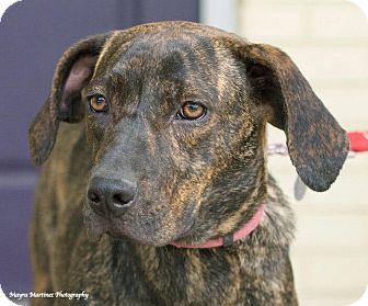 Plott Hound/Labrador Retriever Mix Dog for adoption in Hagerstown, Maryland - Gracie