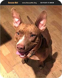 Ibizan Hound/American Pit Bull Terrier Mix Dog for adoption in Phoenix, Arizona - Sienna