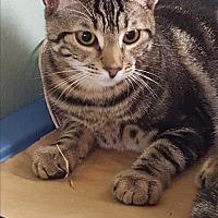 Domestic Shorthair Cat for adoption in Harrison, New York - Deirdre