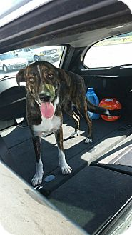 Greyhound/Labrador Retriever Mix Dog for adoption in New Albany, Ohio - Shawna
