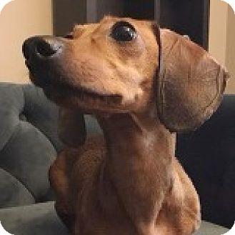 Dachshund Dog for adoption in Houston, Texas - Annie Arabesque