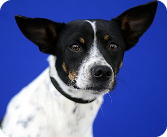 Terrier (Unknown Type, Small) Mix Dog for adoption in LAFAYETTE, Louisiana - FREDDIE