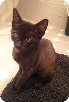 Domestic Shorthair Kitten for adoption in River Edge, New Jersey - Mystic