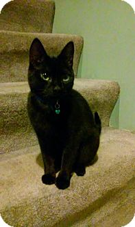 Domestic Shorthair Cat for adoption in Ellicott City, Maryland - Mindy