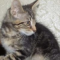 Adopt A Pet :: Olga--possible FIV - South Bend, IN
