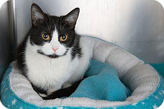 Domestic Shorthair Cat for adoption in Wheaton, Illinois - Evangeline