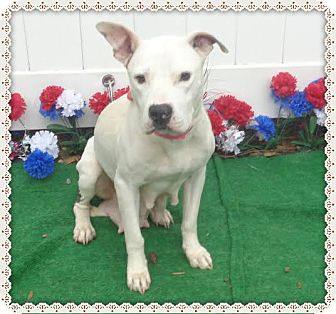 American Pit Bull Terrier Mix Dog for adoption in Marietta, Georgia - EMMIE