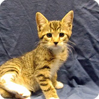 Domestic Shorthair Cat for adoption in Fayetteville, Tennessee - 17-c04-018 Hope