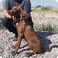 Adopt A Pet :: Zeus - Greeley, CO