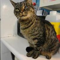 Domestic Shorthair/Domestic Shorthair Mix Cat for adoption in Shelbyville, Kentucky - Simba
