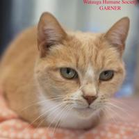Domestic Shorthair/Domestic Shorthair Mix Cat for adoption in Boone, North Carolina - Garner