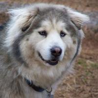 Husky Mix Dog for adoption in Shelby, North Carolina - Christopher