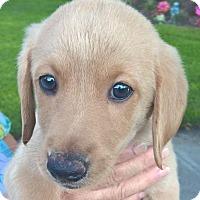 Adopt A Pet :: Fudgetta#3F - Orlando, FL
