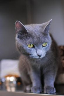 Domestic Shorthair/Russian Blue Mix Cat for adoption in Everett, Ontario - Ruby