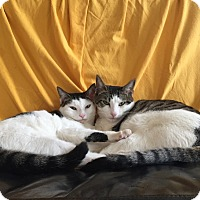 Domestic Shorthair Cat for adoption in Brooklyn, New York - Eileen & Zaha