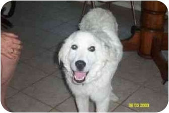 Great Pyrenees Mix Dog for adoption in Kyle, Texas - Clyde