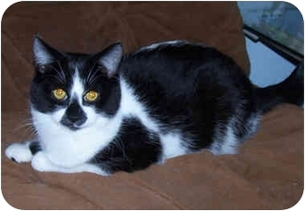 Domestic Shorthair Cat for adoption in Owatonna, Minnesota - Hope