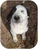 Hound (Unknown Type)/Border Collie Mix Puppy for adoption in Portland, Maine - Givenchy