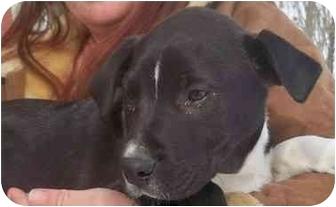 Great Dane/Labrador Retriever Mix Puppy for adoption in Highland, New York - cinder