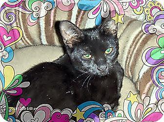Domestic Shorthair Cat for adoption in Los Angeles, California - Rochana