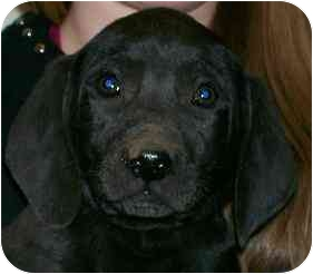 Labrador Retriever/Weimaraner Mix Puppy for adoption in Cumming, Georgia - Calvin