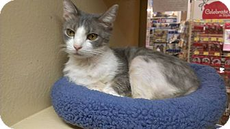 Domestic Shorthair Cat for adoption in Lexington, Kentucky - Fancy