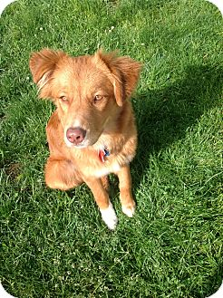 Nova Scotia Duck-Tolling Retriever Mix Dog for adoption in New Canaan, Connecticut - Nadia