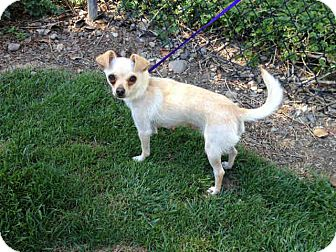 Chihuahua Mix Dog for adoption in Mission Viejo, California - Ginger