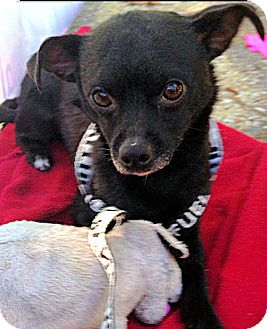 Chihuahua/Feist Mix Dog for adoption in Knoxville, Tennessee - Yogi Bear