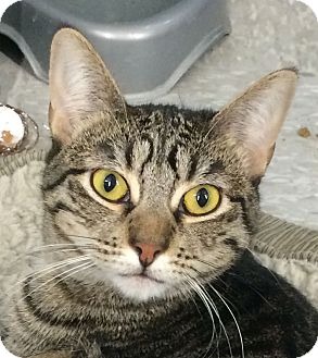 Domestic Shorthair Cat for adoption in Winchester, California - Taliyah