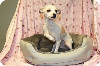 Chihuahua Dog for adoption in Yelm, Washington - Abby
