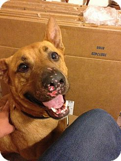 German Shepherd Dog/Great Dane Mix Dog for adoption in Wanette, Oklahoma - Dunken