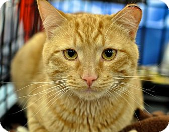 Domestic Shorthair Cat for adoption in Great Falls, Montana - Sunkist