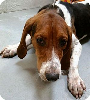 Treeing Walker Coonhound Mix Dog for adoption in Adrian, Michigan - Foxy