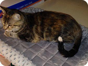 Calico Cat for adoption in Huntley, Illinois - Autumn
