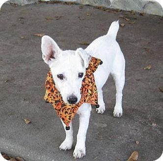 Jack Russell Terrier Mix Dog for adoption in Terra Ceia, Florida - TUCKER