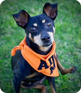 Miniature Pinscher Dog for adoption in Rancho Santa Fe, California - Maisie
