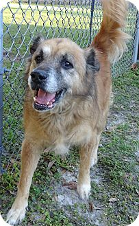 German Shepherd Dog/Labrador Retriever Mix Dog for adoption in Brooksville, Florida - HARRY