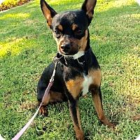 Adopt A Pet :: Bourbon - Mission Viejo, CA