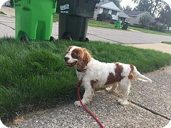 Cavalier King Charles Spaniel Mix Dog for adoption in Mentor, Ohio - Pearl 13yr Adopted