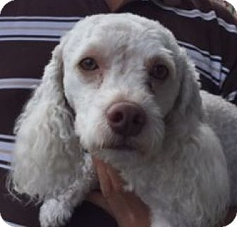 Poodle (Miniature) Mix Dog for adoption in Canoga Park, California - Odom
