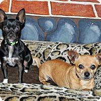 Adopt A Pet :: Belle - Port Washington, NY