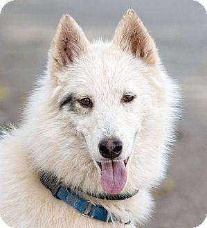 Siberian Husky Dog for adoption in Cedar Crest, New Mexico - Meeska