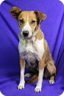 Shepherd (Unknown Type) Mix Dog for adoption in Westminster, Colorado - MIA