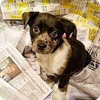Adopt A Pet :: Frodo*ADOPTED!* - Chicago, IL
