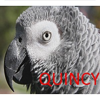 Adopt A Pet :: Quincy The African Grey - Vancouver, WA