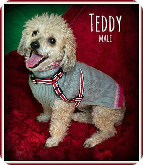 Miniature Poodle Mix Dog for adoption in Fallbrook, California - Teddy