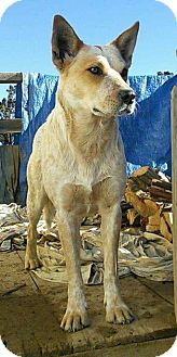 Australian Cattle Dog/Australian Shepherd Mix Dog for adoption in Cave Creek, Arizona - Sylvia